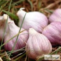 Продажа чеснока на посадку Семена чеснока