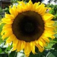 Купить семена подсолнечника(подсолнуха) Петуния, Тунка, Белла, ЛГ5580, Мегасан