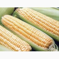 Семена кукурузы Здобуток ФАО 290 (Маис)