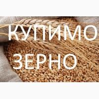 Купуємо пшеницю фуражну також 3клас, по Тернопільській області