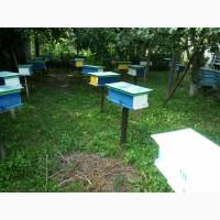 Продам пчелиные матки Карпатской породы 2018г. плодные, меченные