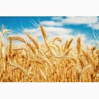 Підприємство постійно закуповує пшеницю