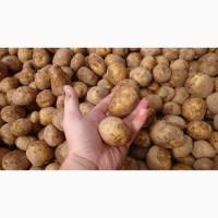 Куплю картофель оптом обьёмами, нужно 300 тонн.Беллароза, Санте, Ревьера, Галла