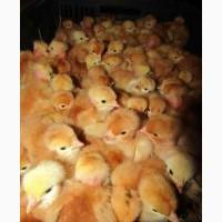Продажа суточных цыплят