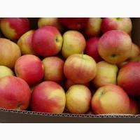 Продам оптом яблука, сорт Айдаред