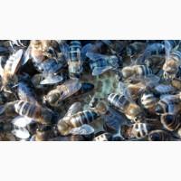 АКЦІЯ! Неплідні матки української степової бджоли