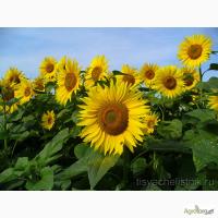 Семена подсолнечника Тунка, ЛГ 5543 КЛ, ЛГ 5661 КЛ, ЛГ 5631 Акция