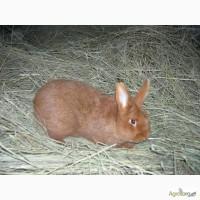 Продам кроликов Новозеландский красный НЗК
