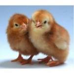 Суточные цыплята мясо-яичных пород Голошейка, рэд бро