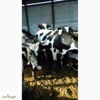 Продам бычков мясо-молочной породы. КРС, 19шт, по 400кг