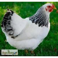Цыплята серебристый адлер