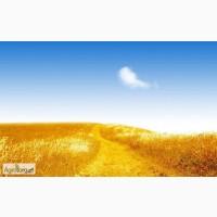 Закупка пшеницы разноклассовой.Возможен самовывоз