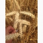Продам посівмат пшениці озимої:Скаген, Кубус, Глаукус, Мулан, Тобак І репродукція та еліта