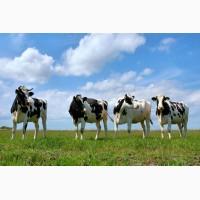 Куплю бики, корови, телиці, телята