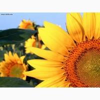 Карат гібрид соняшнику під гранстар від НК Гран