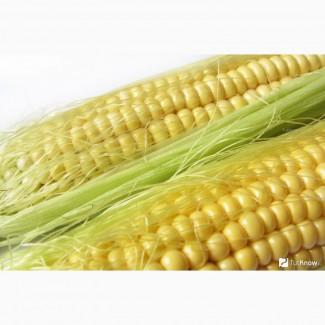 Семена кукурузы Новый ФАО 330 (Маис)