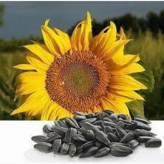 Семена подсолнечника гибрид Селянин F1
