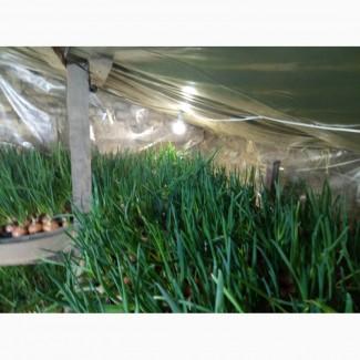 Продам лук перо собственного производства