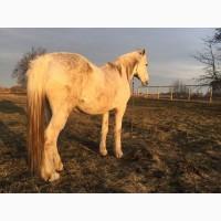 Чистопородная старотипная орловская рысистая лошадь
