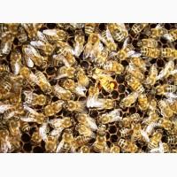 Пчеломатки бакфаст, итальянка - неплодные