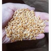 Продам семена озимой пшеницы CHICAGO-трансгенный канадский сорт