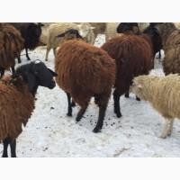 Курдючные гиссарской породы ярки овцематки овцы
