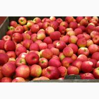 Куплю яблука для переробки