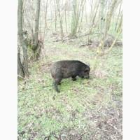 Продам свиноматку (дикая/ветнамка)