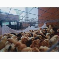 Цыплята Курчата Циплята