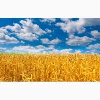 Закупаем пшеницу.Возможен вывоз автотранспортом