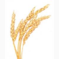 Пшеница. Крупнооптовая закупка