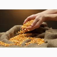 Гібрид кукурудзи ГРАН 6 (ФАО 300)