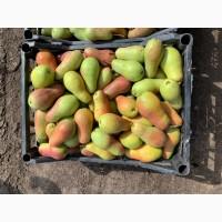 Продам грушу Талгарка