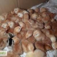 Реализуем инкубационные яйца Фокси чик