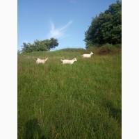 Продаються кози та козочки 4 місяці