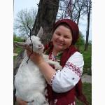 Козье молоко от полудиких коз самое целебное -пища богов и долгожителей