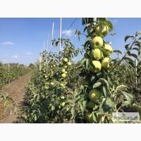 Продам яблоки голден, семеренка, опт 5 - 5, 5грн/кг