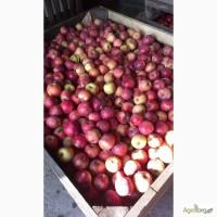 Продам яблука від виробника, оптом