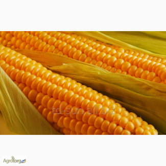 Продам гібрид кукурузи ЧЕМЕРОВЕЦЬКИЙ 260 СВ