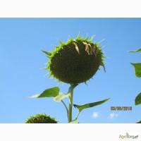 АКЦІЯ !!! Насіння соняшнику ТЕЛЬМО ШТ, Штрубе під Євролайтнінг ур 2017 р