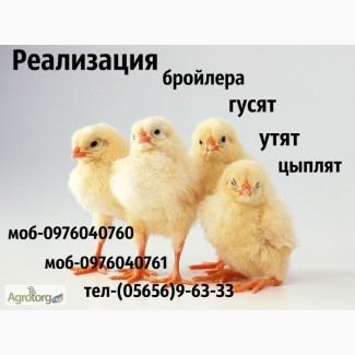 Суточные бройлерные цыплята РОСС-708/КОББ-500 оптом и в розницу, возможна доставка