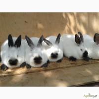Кролі каліфорнійські, каліфорнійці