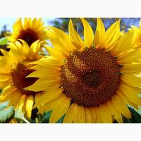 Фушия CLEARFIELD (Сaussade semences) гибрид устойчивый к болезням и засухе