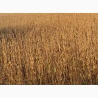 Насіння сої Валюта ГМО за готівку 13000 грн