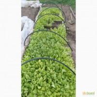 Принимаю заказы на выращивание рассады табака