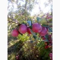 Яблука (Айдаред, Монтуан)