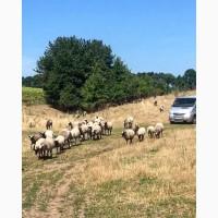 Продам овець Романівськоі породи