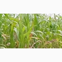 КРЕМЕНЬ 200 СВ ФАО 210 семена кукурузы