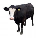 Продам говядину живым весом