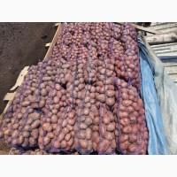 Продам велику та насінневу картоплю БЕЛЛА РОСА